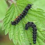 Peacock Butterfly Caterpillars, Outer Hebrides