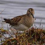 Pectoral Sandpiper, South Uist