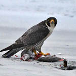 Peregrine with juvenile Common Gull