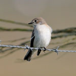 Pied  Flycatcher - Outer Hebrides Birds
