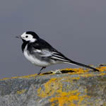 male Pied Wagtail