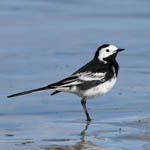 male Pied Wagtail - Outer Hebrides Birds