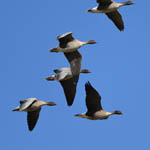 Pink-footed Geese migrating, Outer Hebrides
