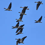 Pink-footed Geese migrating