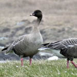 Pink-footed Geese, South Uist