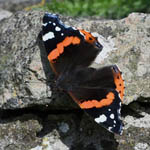 Red Admiral, Outer Hebrides Butterflies