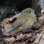 Red-flanked Bluetail Outer Hebrides