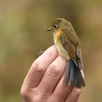 Red-flanked Bluetail, Barra Outer Hebrides