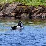 drake Ring-necked Duck, South Uist