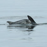 Risso's Dolphin and calf - Outer Hebrides Mammals