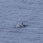 Risso's Dolphin, Lewis