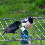 Rose-coloured Starling, Harris