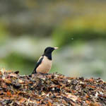 Rose-coloured Starling, Ardivachar