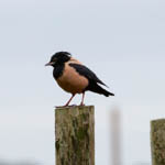Rose-coloured Starling, Lewis