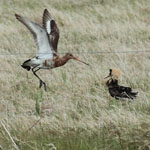 Ruff with Black-tailed Godwit