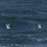 Sabine's Gull and Kittiwake