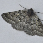 Scotch Annulet - Outer Hebrides Moths