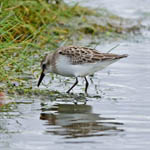 Semipalmated Sandpiper, Outer Hebrides
