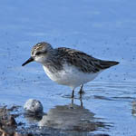 adult Semipalmated Sandpiper, North Uist