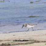 Semipalmated Sandpiper, Lewis