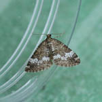 Small Rivulet, Outer Hebrides moths