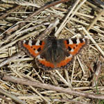 Small Tortoiseshell butterfly, Outer Hebrides