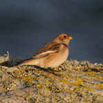 Snow Bunting, South Uist