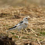 Snow Bunting, Outer Hebrides