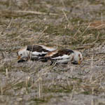 male Snow Buntings, North Uist