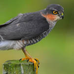 Sparrowhawk, south uist