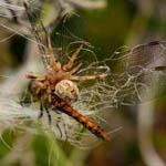 Common Darter and spider