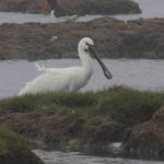 Spoonbill, South Uist