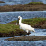 Spoonbill, Outer Hebrides