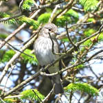Spotted Flycatcher, South Uist