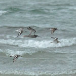 Spotted Redshank - Outer Hebrides Birds