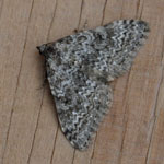 Striped Twin-spot Carpet - Outer Hebrides Moths