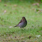 Swainson's Thrush - South Uist