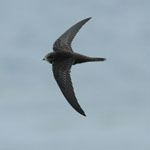 Swift - Outer Hebrides Birds