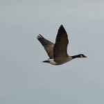 Todd's Canada Goose with Barnacle Goose