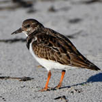 Turnstone, South Uist