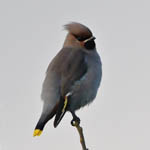 1st winter Waxwing
