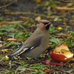 Waxwing, North Uist