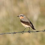 Greenland Wheatear, Outer Hebrides