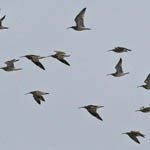 Whimbrels migrating UIst