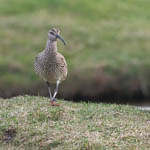 Whimbrel, Lewis
