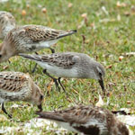 White-rumped Sandpiper - Outer Hebrides Birds