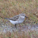 White-rumped Sandpiper, Butt of Lewis