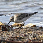 White-rumped Sandpiper, Outer Hebrides