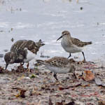 White-rumped Sandpipers, South Uist