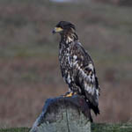 2nd cal yr White-tailed Eagle